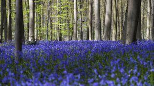Des jacinthes sauvages recouvrent la forêt de hêtres du bois de Hal, près de Bruxelles (Belgique), le 20 avril 2016 (FREDERIC SIERAKOWSKI / ISOPIX / SIPA)