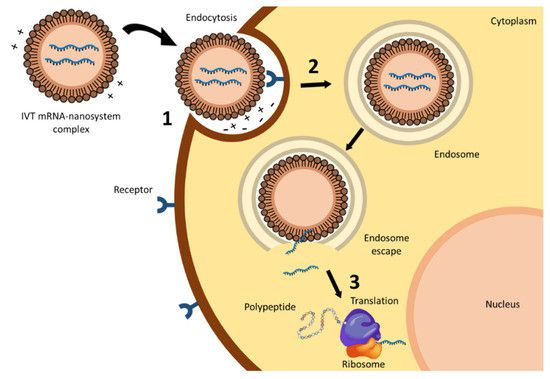 Les brins ARN sont encapsulés dans des nano-particules grasses, afin d'être en mesure de passer la membrane cellulaire. Leur information est ensuite lue par les ribosomes, déclenchant la production de l'antigène (protéine S). Ce processus se déroule à l'extérieur du noyau où se trouvent les chromosomes, et donc l'ADN. (ITZIAR GOMEZ-AGUADO ET ALII / REVUE