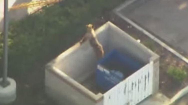 Une ourse tente de secourir son ourson tombé dans une benne à ordures, le 16 octobre 2014, à Pasadena (Etats-Unis). ( YOUTUBE)