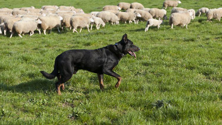 Un chien de berger photographié dans le Maine-et-Loire, le 22 mars 2011. (MAXPPP)