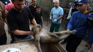 Un singe sous sédatif est placé dans une cage pour son transfert du zoo de Gaza vers la Jordanie, le 7 avril 2019. (ABED RAHIM KHATIB / NURPHOTO / AFP)