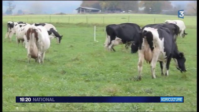 Haut-Rhin : une usine mise en cause après la mort de nombreuses vaches
