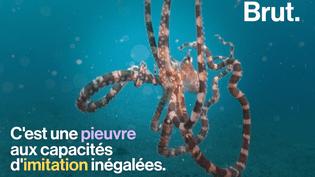VIDEO - La pieuvre mimétique, reine de l'imitation  (BRUT)