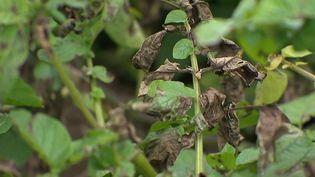 La météo catastrophique de ces derniers mois a été très mauvaise pour les récoltes. Les agriculteurs déplorent des pertes ; à cause de l'humidité, le mildiou, un champignon, s'est développé. Ce mois de juillet a été l'un des plus pluvieux depuis 60 ans. (CAPTURE ECRAN FRANCE 2)