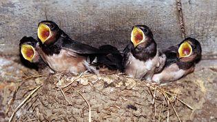 Un nid d'hirondelles en Haute-Marne, en septembre 2001. (MARCEL MOCHET / AFP)