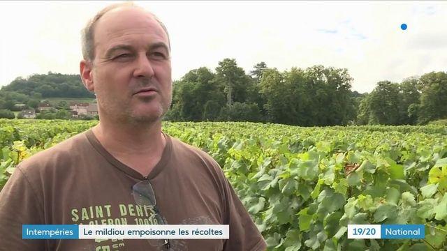 Agriculture : à cause des intempéries, le mildiou frappe de plein fouet les récoltes
