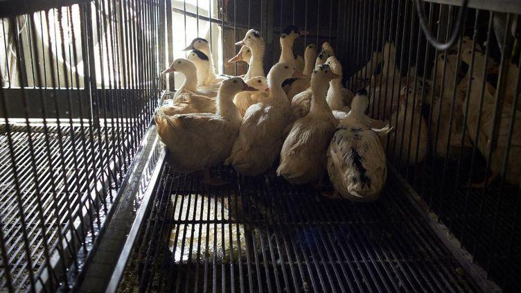 Un élevage de canards à Mugron (Landes), le 13 janvier 2021. (ALAIN PITTON / NURPHOTO / AFP)