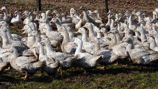 Le temps de gaver les canards, on devrait pouvoir retrouver du canard frais landais sur les étals à partir de début septembre. (IROZ GAIZKA / AFP)