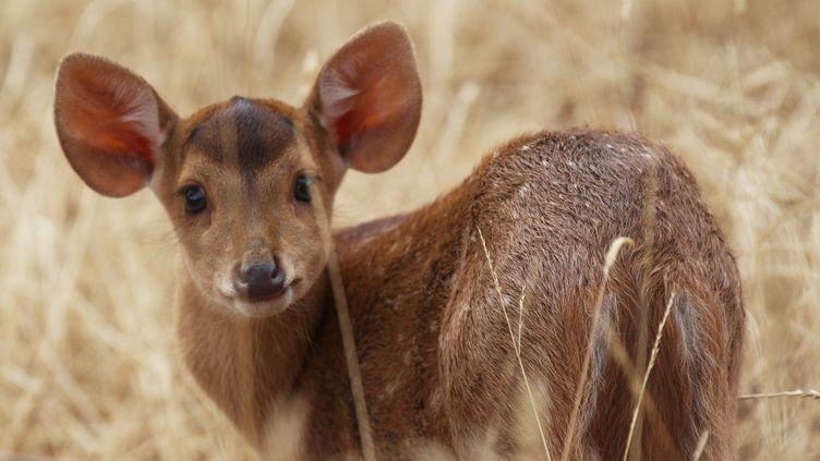 Le bébé cerf cochon pris en photopar les soigneurs du Parc. (PARC ANIMALIER D AUVERGNE)