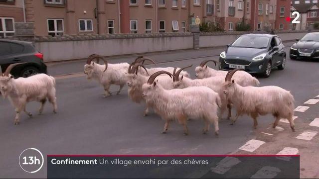 Royaume-Uni : au pays de Galles, un village envahi par des chèvres