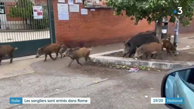 Italie : Rome, régulièrement envahie par des sangliers