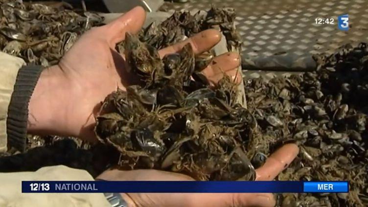 Un mytiliculteur montre des moules mortes, en Charente-Maritime. ( FRANCE 3 / FRANCETV INFO)
