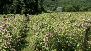 C'est à Grasse (Alpes-Maritimes) que sont cultivées les roses utilisées dans les parfums Dior. (CAPTURE ECRAN FRANCE 2)