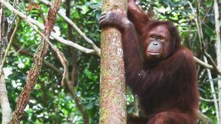 Comme leurs cousins humains, les grands singes peuvent être infectés par le Covid-19. (France 2)