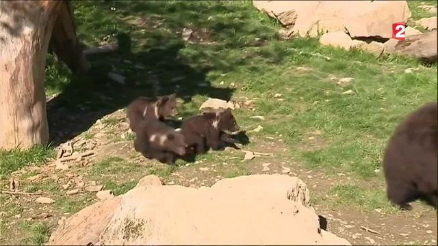 Val d'Aran : les premiers pas de trois oursons bruns