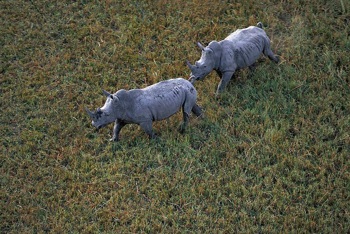 Jamais le rhinocéros n'a été autant menacé d'extinction qu'en 2020 au Botswana. L'image de ce couple de rhinos photographié en 2009 gambadant sur l'herbe du delta de l'Okavongofaitdéjàfigure de lointain souvenir. (MICHEL BUREAU / BIOSPHOTO)