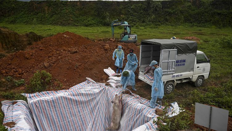 Un cochon mort est jeté dans une fosseen quarantaine, le 27 mai 2019, à Hanoi (Vietnam). (MANAN VATSYAYANA / AFP)