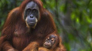 Une femelle orang-outan, dans le parc nationalGunung Leuser de Sumatra (Indonésie). (FIONA ROGERS / AFP)