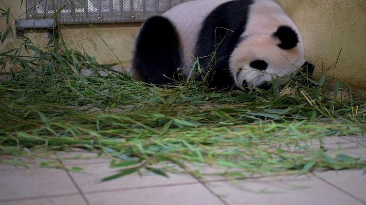 La femelle panda Huan Huan, le 23 juillet 2021 à Saint-Aigan (Loir-et-Cher). (GUILLAUME SOUVANT / AFP)