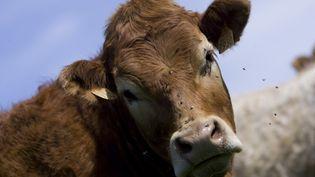 Une vache saine en Auvergne, le 7 janvier 2012. (SEBASTIEN RABANY / AFP)