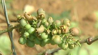 Une grappe de raisin dans le vignoble de Bourgogne, dévasté par les orages de grêle, le 24 juillet 2013. ( FRANCE 2)