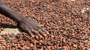 Un agriculteur fait sécher des graines de cacao, le 29 septembre 2015 à Gagnoa (Côte d'Ivoire). (ISSOUF SANOGO / AFP)
