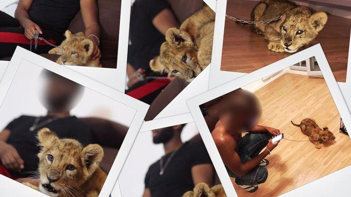 """Les photos du lionceau diffusées sur les réseaux sociaux par l'homme écroué pour """"détention d'espèce animale non domestique protégée"""". (MONTAGE PHOTO FRANCEINFO)"""