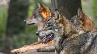 Trois loups gris dans une forêt allemande, le 23 septembre 2020. (MAXPPP)