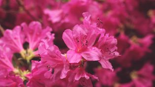Les rhododendrons et les azalées n'aiment que l'eau de pluie. (HUGO CAMPANELLA / EYEEM / GETTY IMAGES)