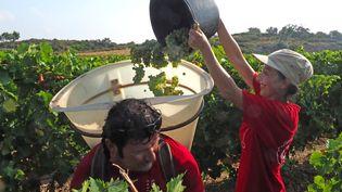 Cette année, le raisin a maturé plus vite avec la chaleur et le manque de pluie. (RAYMOND ROIG / AFP)