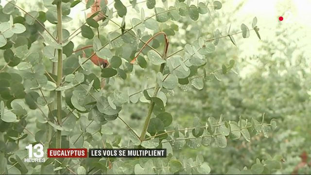 Var et Alpes-Maritimes : le vol d'eucalyptus, un fléau pour les producteurs