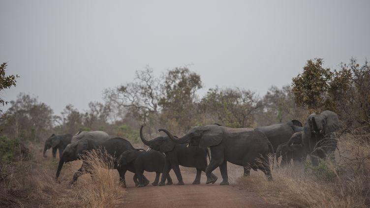 Des éléphants dans le parcde la Pendjari, au Bénin, le 11 janvier 2018. (STEFAN HEUNIS / AFP)