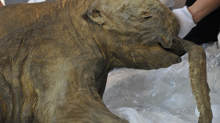 Le corps d'unbébé mammouth âgé de 1 mois, mort il y a 42 000 ans, est dévoilé à Hong Kong, le 10 avril 2012. (AARON TAM / AFP)