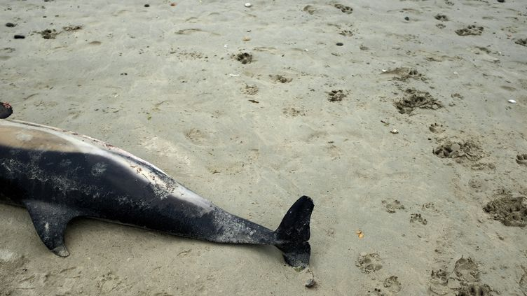 Un dauphin échoué photographié sur une plage bretonne, le 28 juillet 2020. (LYDIA FARES / HANS LUCAS / AFP)