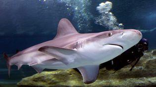 Un requin gris, dans l'aquarium Sea Life de Roquetas del Mar (Espagne). (FRANCISCO BONILLA / REUTERS)