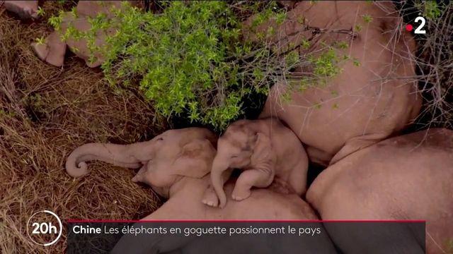Chine : les aventures d'un troupeau d'éléphants sauvages continuent