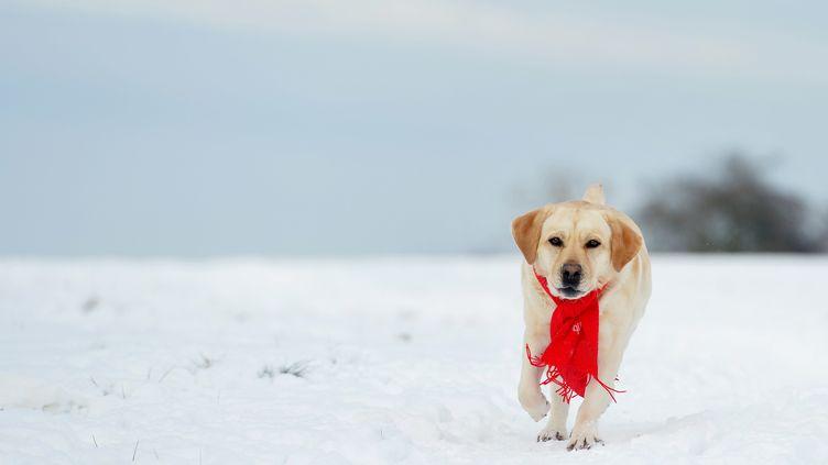 Un labrador dans la neige à Osterode (Allemagne), le 18 janvier 2017. (FRANK MAY / AFP)