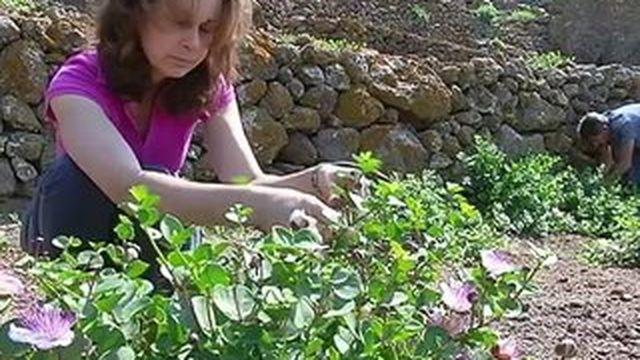 Les câpres de Pantelleria sont uniques
