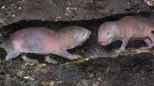 Les capacités des rats-taupes nus fascinent les scientifiques. (H. SCHMIDBAUER / BLICKWINKEL)