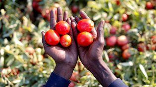 Sutay Darboe, 42 ans, migrant sénégalais travaillant dans un champ de tomates près de Foggia en Sicile. (ALESSANDRO BIANCHI / REUTERS)