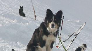 Les chiens d'avalanche sont capables de retrouver la trace des victimes sous la neige. Comment sont formés et entraînés ces animaux ? (FRANCE 3)