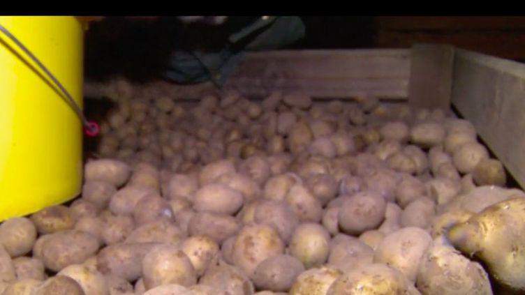 En Lozère, les agriculteurs cultivent depuis longtemps des pommes de terre pour leur consommation personnelle. Depuis trois ans, ils se diversifient et proposent des pommes de terre d'exception, les Pépites de l'Aubrac. (FRANCE 3)