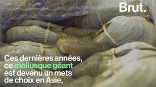 VIDEO. Le panope, un mollusque au cœur d'une industrie florissante (BRUT)