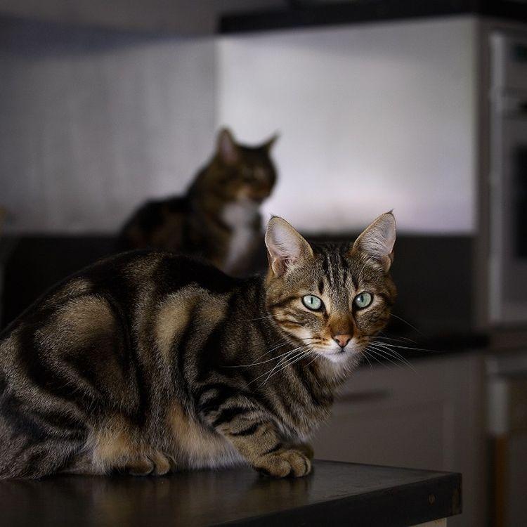 Des chats dans une cuisine. (ERIC GUILLORET / BIOSPHOTO / AFP PHOTO)