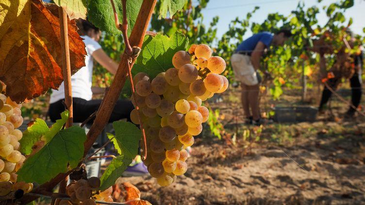 Les vendanges dans les vignes du château de Chambord (Loir-et-Cher), le 19 septembre 2018. (GUILLAUME SOUVANT / AFP)