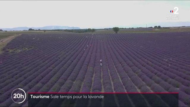Alpes-de-Haute-Provence : la lavande impactée par l'absence de touristes