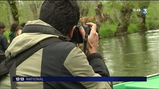 Découverte : dans le Marais poitevin, la transhumance a lieu sur l'eau