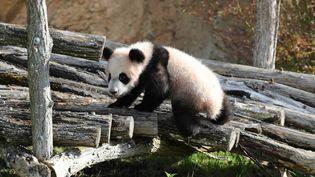 Le bébé panda du zoo de Beauval pèse désormais 30 kg. (ZooParc de Beauval)