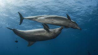 Des dauphins photographiés au large de la Polynésie Française, le 4 août 2017. (VINCENT TRUCHET / BIOSPHOTO / AFP)