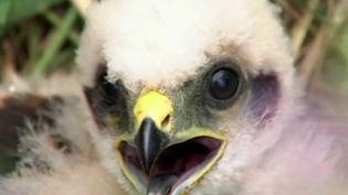 En France, une espèce sur cinq est menacée de disparition. Parmi elles, 32% sont des oiseaux nicheurs. (France 2)